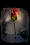 Ice Flower. A rose frozen in a block of ice Royalty Free Stock Photo