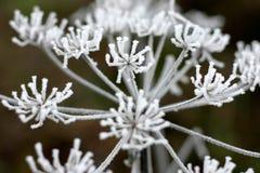 Ice flowers royalty free stock photos