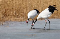 The ice foraging red-crowned cranes. Wetland red-crowned cranes foraging on the ice in the spring stock photos