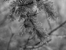 Ice From A Freezing Rain Storm Coats Pine Needles. After an early spring freezing rain storm, ice coats the branches and needs of a Red Pine tree stock photos