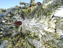 Ice and frost covered spruce tree needle branch Royalty Free Stock Photos