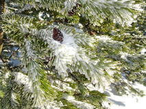 Ice and frost covered spruce tree needle branch Royalty Free Stock Photo