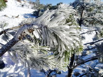 Ice and frost covered spruce tree needle branch Royalty Free Stock Photography