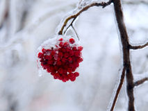 Ice on frozen red   berry of ashberry Stock Photo
