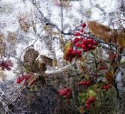 Ice glass reflection viburnum red berry autumn leaves close-up. Branch sky outdoors Stock Image