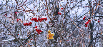 Ice-glazed red berries and leaves. On a winter background Stock Photo