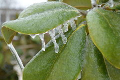 Ice on green leaves Royalty Free Stock Image