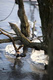 The ice has accumulated on the branches at the lake. In February Stock Photo