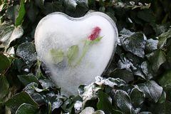 Ice heart and a rose in the ivy royalty free stock image