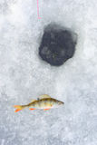 Ice Hole And Perch Fish Royalty Free Stock Image