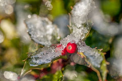 Ice on Holly bush Stock Image