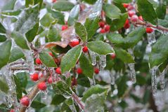 Ice Holly Royalty Free Stock Images