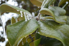 Ice on leaves after ice storm Royalty Free Stock Image