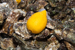 Ice lemon oysters. Ice and lemon on oysters background pattern Royalty Free Stock Image