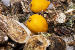 Ice lemon oysters. Ice and lemon on oysters background pattern Royalty Free Stock Photography