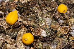 Ice lemon oysters. Ice and three lemon on oysters background pattern Royalty Free Stock Image