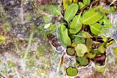 Ice melting around plants. In spring, Ontario, Canada Stock Images