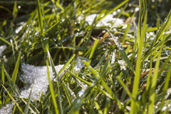 Icy blades of grass. Ice melting on lush blades of grass after a harsh frost Royalty Free Stock Image