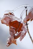 Ice motives. Maple leaves covered with ice stock photo