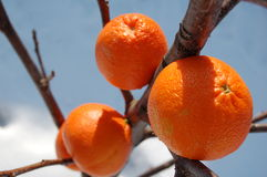 Ice oranges. During winter time stock photo