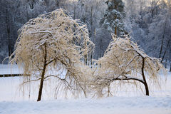 Ice on osier trees Royalty Free Stock Photo