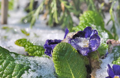 Ice on pansies Stock Photography