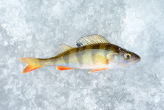 Ice and perch fish. Winter fishing theme Royalty Free Stock Images
