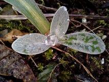 Ice in Perennial Cornflower / Centaurea Montana Leaves Royalty Free Stock Photos