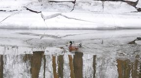 River Sysa and ducks in winter, Lithuania Stock Photo