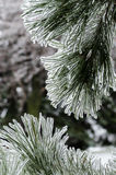 Ice pine in backlight, vertical. Ice coated pine needles after an ice storm Royalty Free Stock Photography