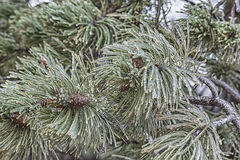 Ice pine branch, close up Royalty Free Stock Photo