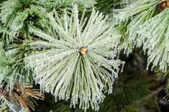Ice pine. Stock Photos
