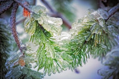 Ice pine tree Royalty Free Stock Image