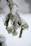 Ice on pine tree Royalty Free Stock Photos