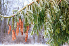 Ice on a pine tree Stock Image