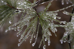Ice on Pine tree Stock Images
