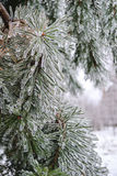 Ice on Pine Tree Royalty Free Stock Images