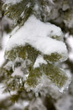 Ice on pine tree Stock Photo