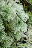 Ice pine, vertical. Ice coated pine needles after an ice storm Royalty Free Stock Image