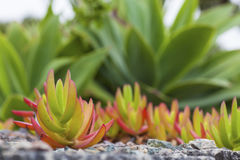 Ice Plant Stock Photography