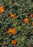 Ice Plant. With beautiful orange flowers Stock Images