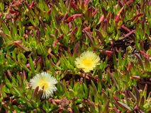 Ice Plant in bloom Royalty Free Stock Photo