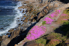 Ice Plant in Bloom Overlooking Monterey Bay, California Stock Images