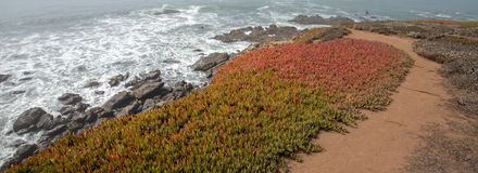 Ice plant on Bluff trail on rugged Central California coastline at Cambria California USA. Ice plant on Bluff trail on rugged Central California coastline at royalty free stock photos