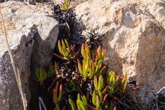 Ice plant carpobrotus edulis royalty free stock photo