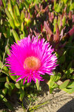 Ice plant Stock Photo