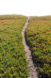 Ice Plant Field with Dirt Pathway royalty free stock photos