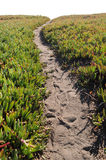 Ice Plant Field with Dirt Pathway royalty free stock photography