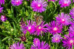 Ice plant flower close up photo with butterfly on the flower. stock photography