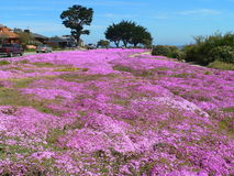 Ice plant flower field. Beautiful Ice Plant flower (Carpobrotus edulis) field with a bit of Pacific ocean in background. Cypress trees too. On the left the Royalty Free Stock Image